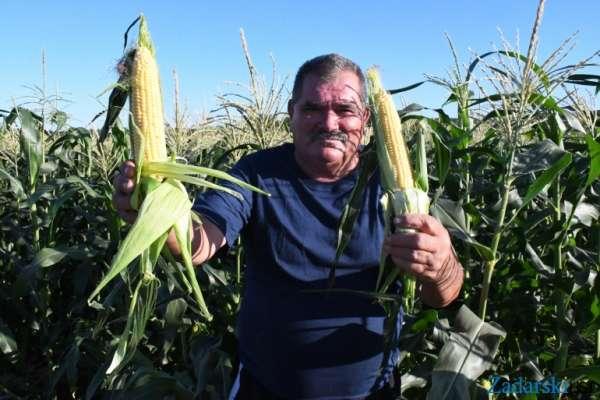 Na Birkuši kukuruzi »do neba«